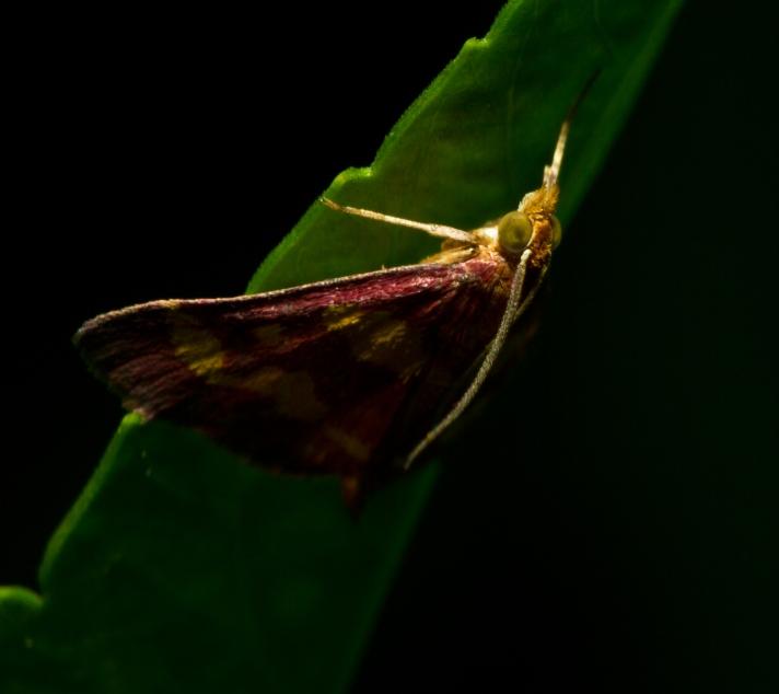 Pyraustasignatalis_RaspberryPyrausta-09032013